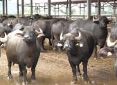 Bufale sulla Boffalora di Segrate